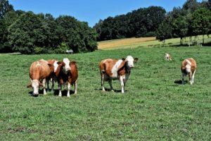 L'Ontario ouvre à Elora un centre de recherche bovine à la fine pointe de la technologie